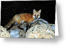 Red Fox - Piercing Eyes Greeting Card