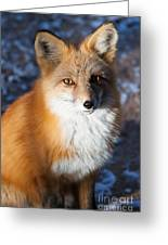 Red Fox Standing Greeting Card