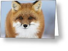 Red Fox Staring At The Camerachurchill Greeting Card