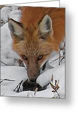 Red Fox Upclose Greeting Card
