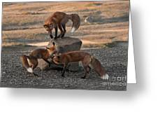 Red Foxes Vulpes Fulva Greeting Card
