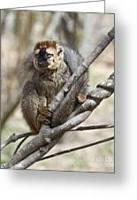 Red-fronted Lemur  Eulemur Rufifrons Greeting Card
