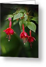 Red Fuchsia Greeting Card