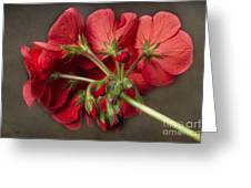 Red Geranium In Progress Greeting Card