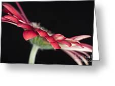 Red Gerbera 4 Greeting Card