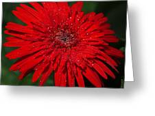 Red Gerbera Daisy Delight Greeting Card