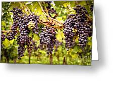 Red Grapes In Vineyard Greeting Card