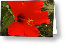 Red Hibiscus Blooming Greeting Card
