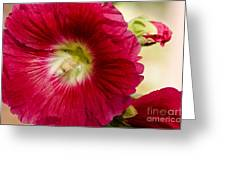 Red Hollyhock Althaea Rosea Greeting Card