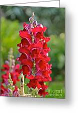 Red Snapdragon Greeting Card