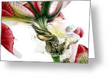 Red Iris Greeting Card
