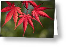 Red Japanese Maple Leafs Greeting Card
