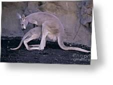 Red Kangaroo. Australia Greeting Card