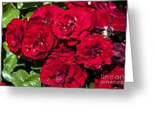 Red Lavaglut Lavaglow Floribunda Roses Greeting Card