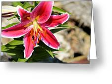 Red Lilly 8095 Greeting Card