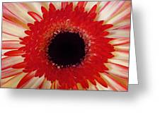 Red  Macro Daisy  Greeting Card