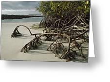 Red Mangrove Root Galapagos Islands Greeting Card