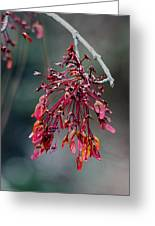 Red Maple Flowers Greeting Card