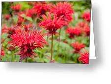 Red Monarda Greeting Card