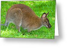 Red Necked Wallaby Greeting Card