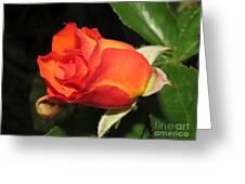 red orange Baby Rose Greeting Card
