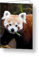 Red Panda  Ailurus Fulgens Eating Greeting Card
