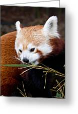Red Panda  Ailurus Fulgens In Captivity Greeting Card