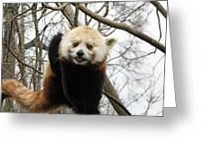 Red Panda Bear In A Tree Greeting Card