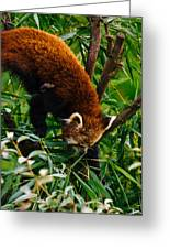Red Panda Tree Climb Greeting Card