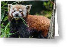 Red Panda With An Attitude Greeting Card