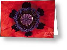 Red Papaver Orientale Greeting Card