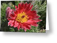 Red Pasque Flower Greeting Card