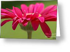 Red Pink Daisy Greeting Card