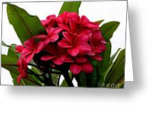 Red Plumeria Greeting Card