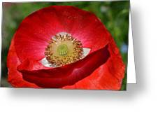 Red Poppy 3 Greeting Card