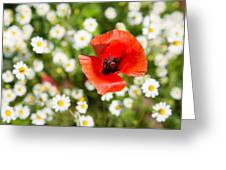Red Poppy With Daisies On Flower Meadow Greeting Card