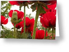 Red Poppy's Greeting Card