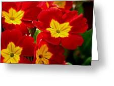 Red Primroses Greeting Card