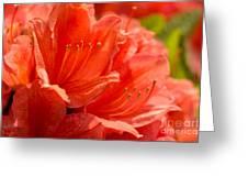 Red Rhodo Greeting Card