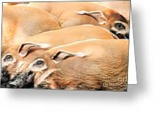 Red River Hogs Potamochoerus Porcus Greeting Card