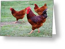 Red Rooster And Hens Greeting Card