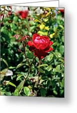 Red Rose. Greeting Card
