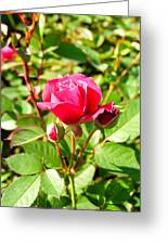 Pink Rose Buds Greeting Card