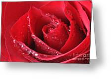 Red Rose Macro With Waterdrops Greeting Card