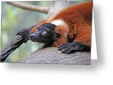 Red-ruffed Lemur Greeting Card