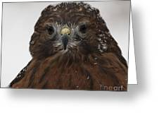 Red Shouldered Hawk Close Up Greeting Card