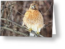 Red-shouldered Hawk Front View Square Greeting Card