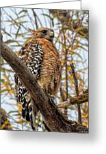 Red-shouldered Hawk In A Willow Tree Greeting Card