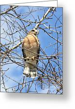Red Shouldered Hawk In Tree Greeting Card