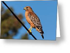 Red-shouldered Hawk On A Wire Greeting Card
